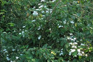 Crofton Weed in flower