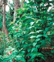 Himalayan Honeysuckle in bushland