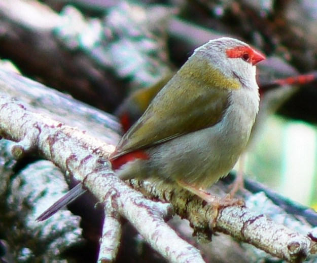 Red Browed Finch (Neochmia temporalis)
