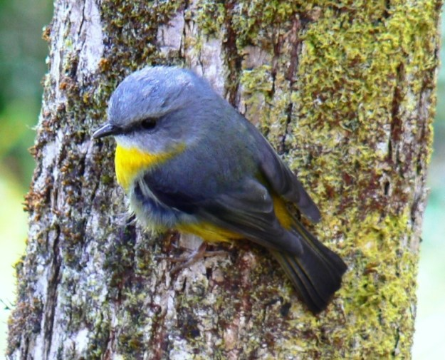Photo of Eastern Yellow Robin (Eopsaltria australis)