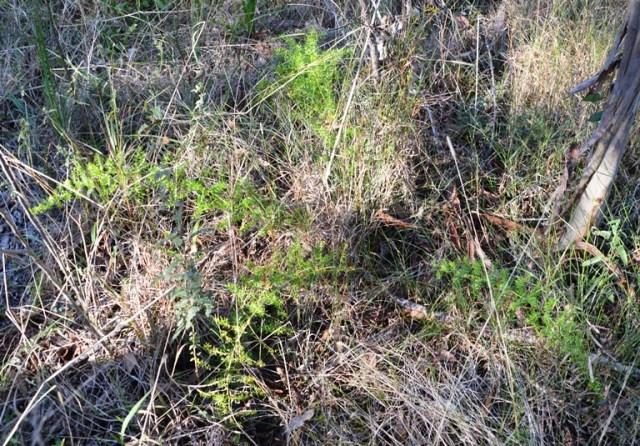 Asparagus fern habit