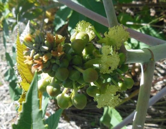 Castor Oil Plant flowers