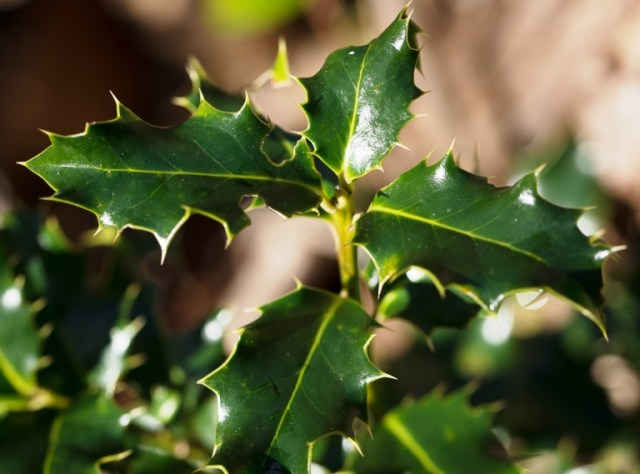 Holly foliage