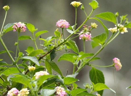 Lantana foliage