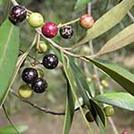 African Olive red green and black small round fruit