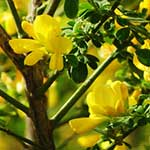 Cape Broom yellow flowers