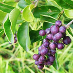 Large leaf privet purple fruit