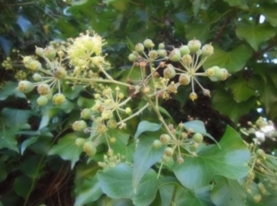 English Ivy flower and fruit