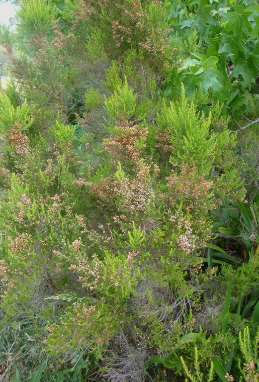 Portuguese Heath habit