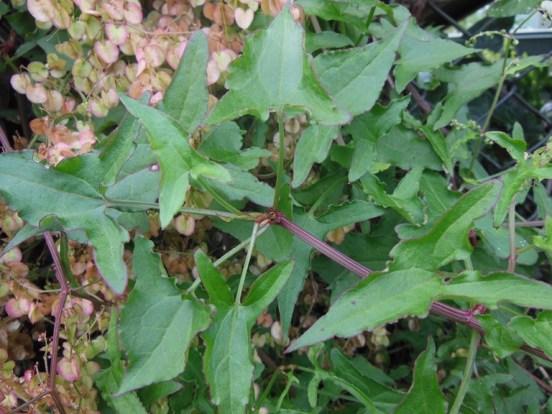 Turkey Rhubarb foliage