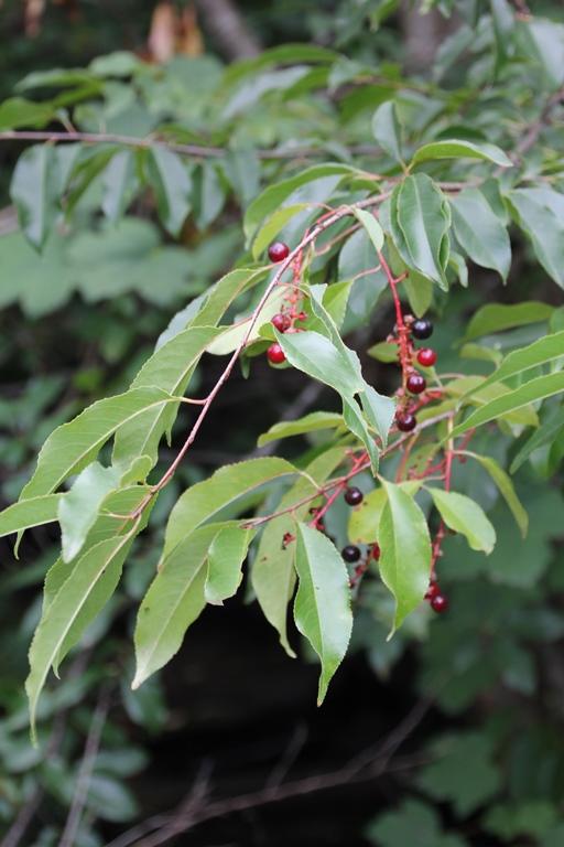 Bird Cherry fruit