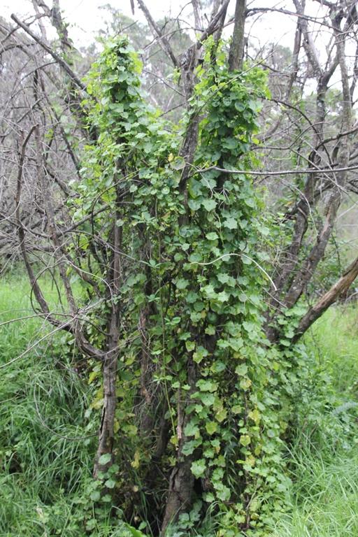 Photo of Cape Ivy habit