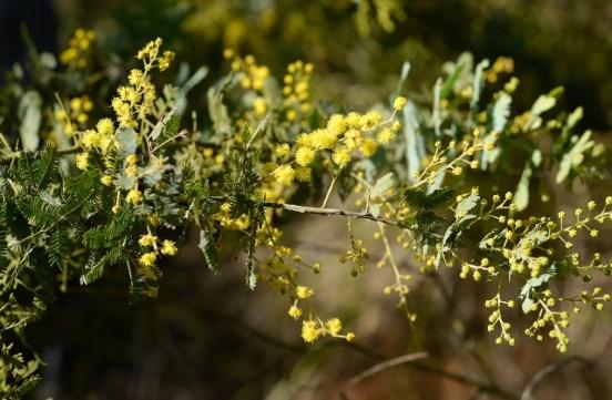 Cootamundra Wattle blossom