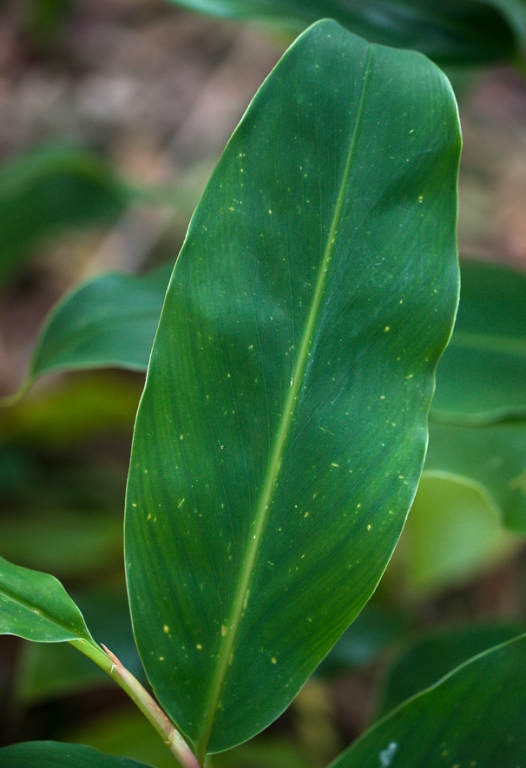 Ginger lily leaf