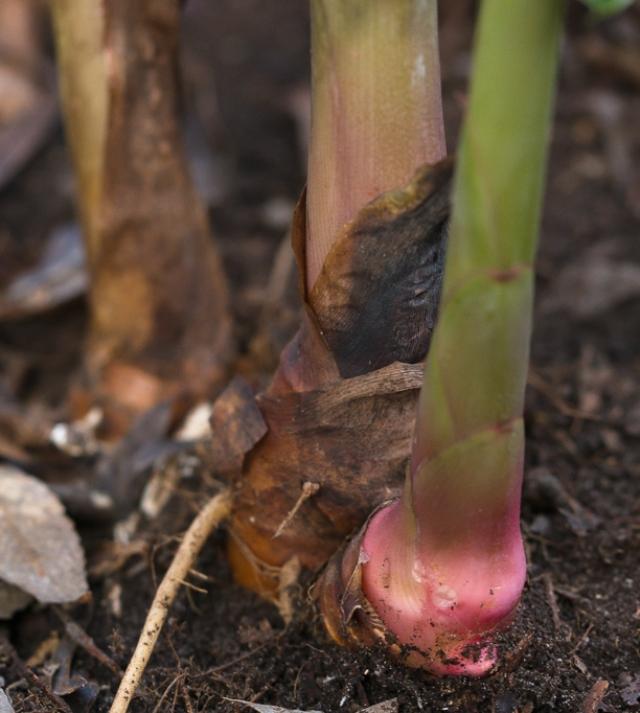 Ginger lily rhizome