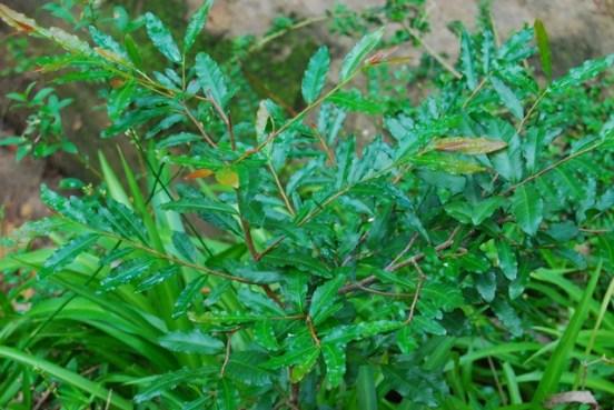 Mickey Mouse plant foliage