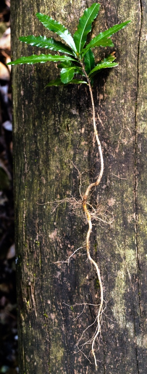 Side view of Ochna seedling with long, kinked root structure