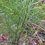 Horsetail bush
