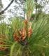 Photo of Radiata Pine