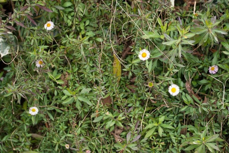 Seaside daisy habit