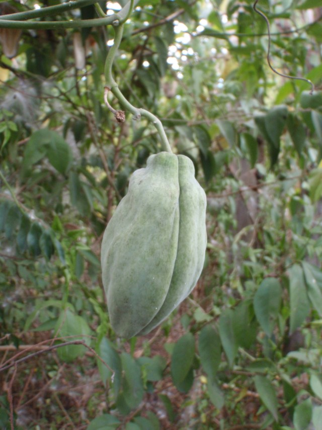 Moth Vine fruit