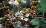 Unripe Blackberry fruits