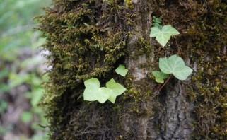 English Ivy seedling