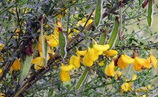Scotch broom flowers and seed pods
