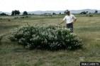Mature Plant