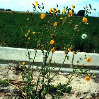 Sonchus arvensis ssp. arvensis growth form