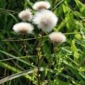 Sonchus arvensis ssp. arvensis seed heads