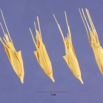 Aegilops triuncialis seeds