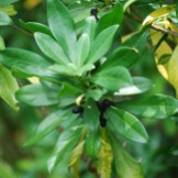 Spurge laurel fruit