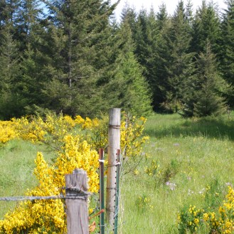 Scotch broom field infestation