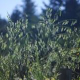 Scotch broom seed pods