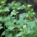 Garlic mustard stem and flowers