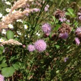 Canadian thistle flower heads