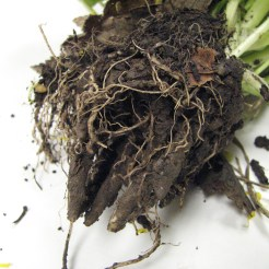 Ranunculus ficaria bulbils and roots