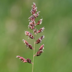 Phalaris arundinacea infloresence