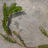 Potamogeton crispus stem and leaves