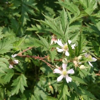 Rubus lacinatus flowers