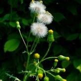Senecio vulgaris seed heads