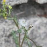 Senecio vulgaris seed head