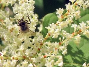 Knotweed Honeybee