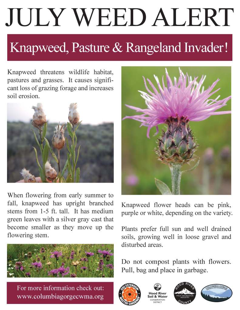 Knapweed_July Weed Alert_Poster