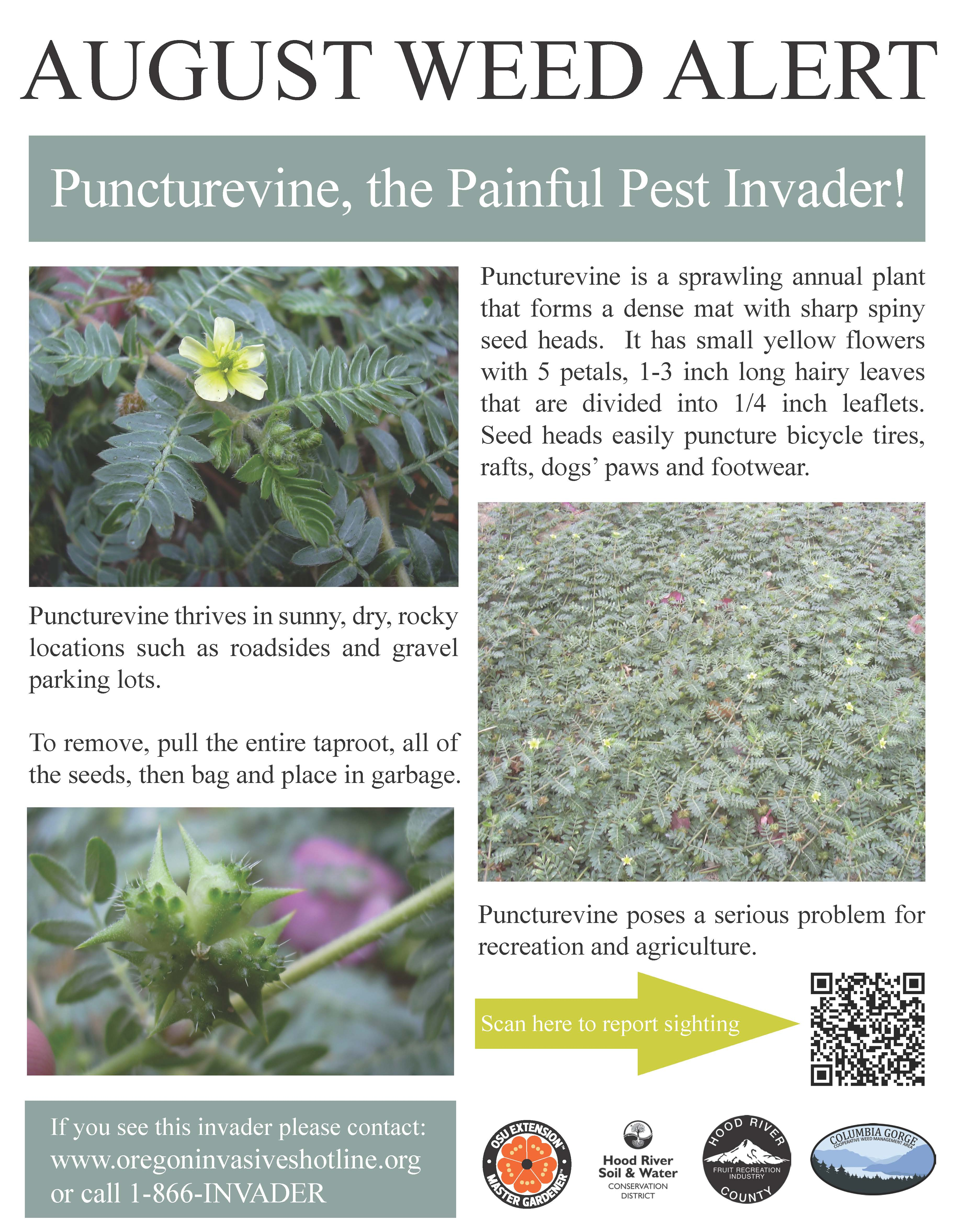 Puncturevine_Aug Weed Alert_Poster