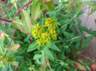 Oblong spurge flower head