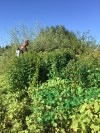 Garden loosestrife being controlled by staff from the Oregon Dept. of Agriculture