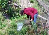 WeedWise Specialist, Jeff Lesh pulling goatsrue (Galega officianalis) near the Clackamas River