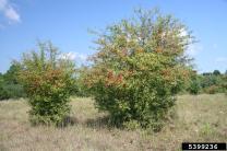English hawthorn tree
